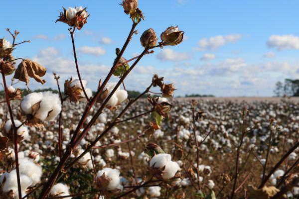 Baumwollblüten auf einem Baumwollfeld vor blauem Himmel